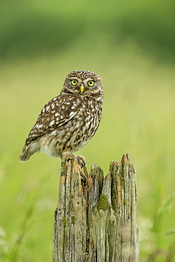 Little owl (Athene noctua), Yorkshire, England, United Kingdom, Europe