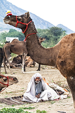 Camel herder early in the morning at the Pushkar Camel Fair, Pushkar, Rajasthan, India, Asia