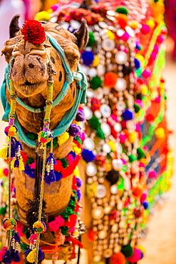 Camel at the Pushkar Camel Fair, Pushkar, Rajasthan, India, Asia