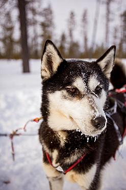 Husky dog, Dogsledding Safari, Kakslauttanen Igloo Village, Saariselka, Finland, Scandinavia, Europe