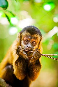 Portrait of a monkey, Johannesburg, South Africa, Africa