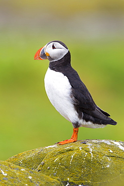 Puffin (Fratercula arctica) on a rocky outcrop on the Farne Islands, Northumberland, England, United Kingdom, Europe