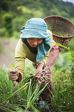 A girl collects spring onions on the verdant green slopes of Manipur in north east India, India, Asia