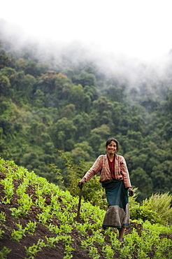 A woman working in pea field in north east India, India, Asia