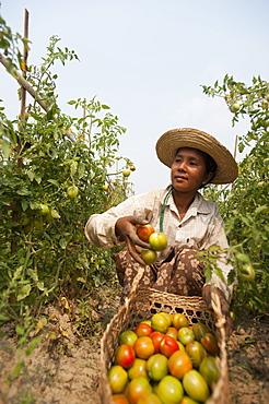 A woman picks tomatoes near Myitkyina, Kachin State, Myanmar (Burma), Asia