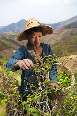 A woman collects teas leaves in the hills surrounding Kalaw Shan State, Myanmar (Burma), Asia