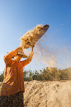 A girl sorts away the husks from the wheat by pouring it in the wind, Shan State, Myanmar (Burma), Asia