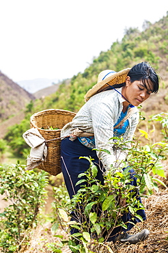 Collecting tea leaves, only the young tea leaves are picked to be dried, Shan State, Myanmar (Burma), Asia