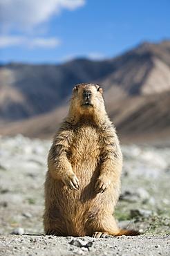 An inquisitive Himalayan marmot unwittingly strikes a pose, Ladakh, India, Asia