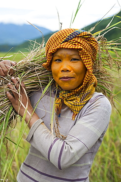 A woman wearing natural sun protection, probably made of sandalwood, harvests rice from rice paddies, Manipur, India, Asia