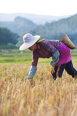 A woman harvests rice in Yunnan Province, China, Asia