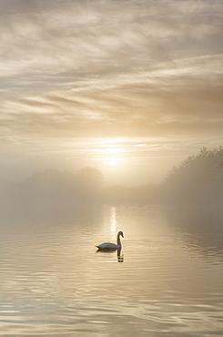 Swan on misty lake at sunrise, Clumber Park, Nottinghamshire, England, United Kingdom, Europe