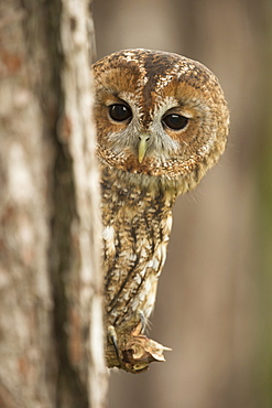 Tawny owl (Strix aluco), peering from behind a pine tree, United Kingdom, Europe