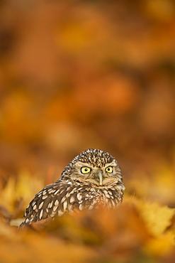 Burrowing owl (Athene cunicularia), among autumn foliage, United Kingdom, Europe