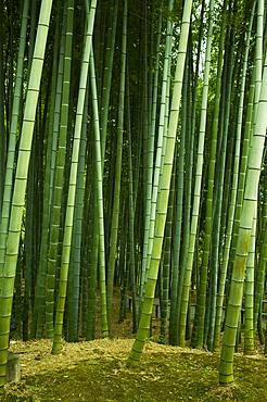 Bamboo forest in Kodai-ji temple, Kyoto, Japan, Asia