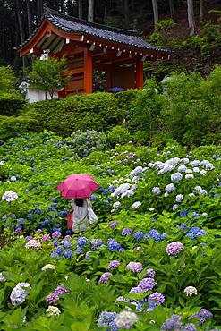 Rainy day during hydrangea season, Mimuroto-ji temple, Kyoto, Japan, Asia