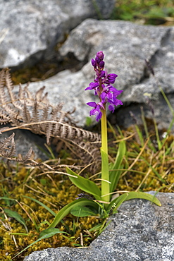 Early purple orchid, The Burren, County Clare, Munster, Republic of Ireland, Europe