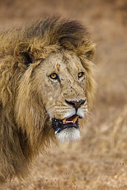 African lion (Panthera leo), Ngorongoro National Park, Tanzania, East Africa, Africa - 1249-13