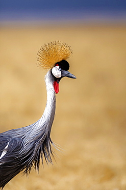 Grey crowned crane (Balearica regulorum), Ngorongoro National Park, Tanzania, East Africa, Africa