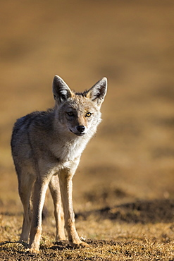 Black-backed jackal (Canis mesomelas), Ngorongoro Conservation Area, Tanzania, East Africa, Africa