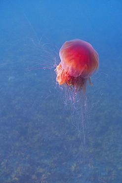 Lion's mane jellyfish (Cyanea capillata), Prince William Sound, Alaska, United States of America, North America - 1249-44