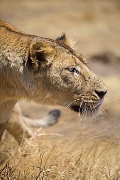 Lioness (Panthera leo), Ngorongoro Crater, Tanzania, East Africa, Africa - 1249-49