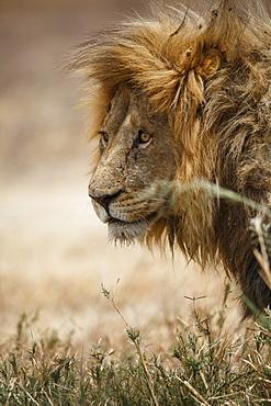 Portrait of an African lion (Panthera leo), Serengeti National Park, Tanzania, East Africa, Africa - 1249-58
