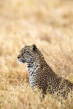 African leopard (Panthera pardus pardus), Serengeti National Park, Tanzania, East Africa, Africa - 1249-7