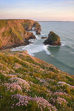 Sea Thrift growing on cliffs overlooking Bedruthan Steps, Cornwall, England, United Kingdom, Europe - 1255-15