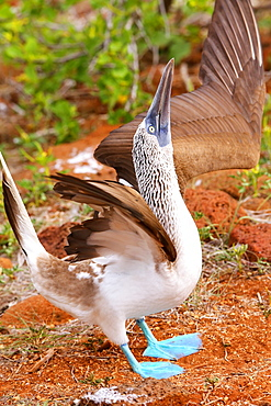 Male Blue-footed Booby displaying (Sula nebouxii) on North Seymour Island, Galapagos National Park, Ecuador, South America