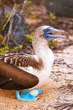 Blue-footed Booby with an egg (Sula nebouxii) on North Seymour Island, Galapagos National Park, Ecuador, South America