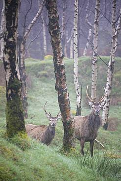 Red Deer (Cervus elaphus) stag and silver birch trees in woodland location, Peak District, Derbyshire, England, United Kingdom, Europe