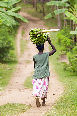 A woman walks down a path carrying a large bunch of bananas on her head, Uganda, Africa