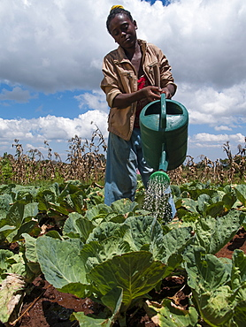A young girl waters a field of cabbages using a watering can, Ethiopia, Africa