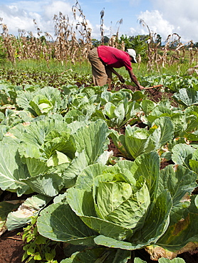 A farmer working in his field on cabbages, Ethiopia, Africa