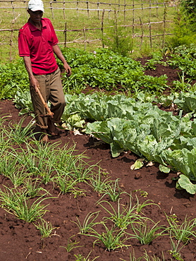 A farmer walks in his field of vegetables, Ethiopia, Africa