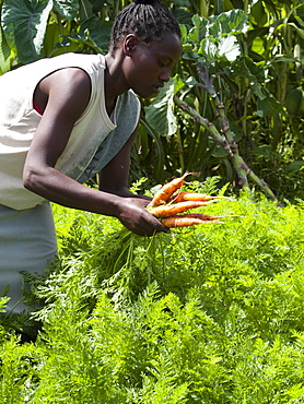 A woman picking carrots, Ethiopia, Africa