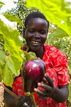 A female farmer harvests an aubergine (eggplant), using a knife, Uganda, Africa
