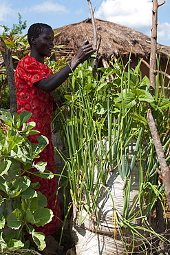 A female farmer tends to vegetables growing in the sack garden outside her home compound, Uganda, Africa
