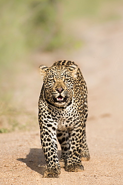 Leopard (Panthera pardus) in Sabi Sands, Greater Kruger, South Africa, Africa