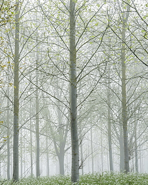 Thick fog amongst a tree plantation with fresh spring leaves at Clyst St. Mary, Devon, England, United Kingdom, Europe