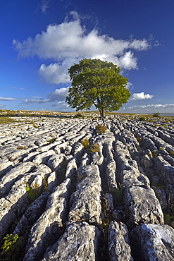 A solitary tree on the limestone pavement at Malham Lings, near Malham, North Yorkshire, England, United Kingdom, Europe