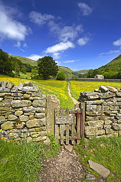 A path leading through the buttercup meadows at Muker in Swaledale, North Yorkshire, England, United Kingdom, Europe