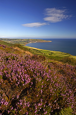 Robin Hood's Bay from the heather covered moor above Ravenscar, North York Moors National Park, North Yorkshire, England, United Kingdom, Europe