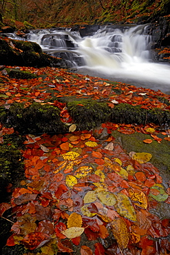 The Moness burn flowing through the Birks of Aberfeldy in autumn, Aberfeldy, Perthshire, Scotland, United Kingdom, Europe
