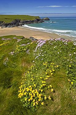 Yellow kidney vetch and pink thrift growing on the clifftops above Porth Joke beach near Crantock, Cornwall, England, United Kingdom, Europe