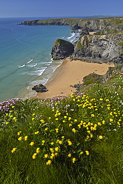 Kidney vetch growing on the clifftops above Bedruthan Steps, Cornwall, England, United Kingdom, Europe
