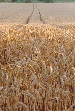 Wheat field in the Dordogne, Aquitaine, France, Europe