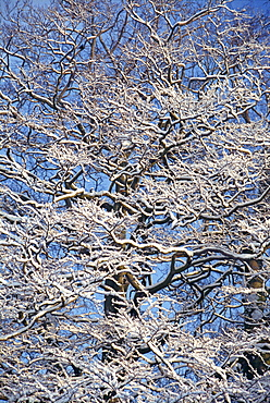 Close-up of snow on branches of trees in winter