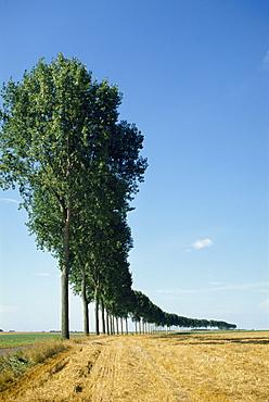 Line of trees outside Calais, Pas de Calais, France, Europe